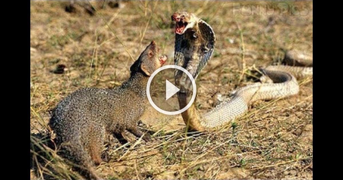 king cobra attack